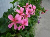 BALCON rosa