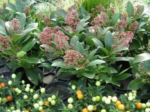 Weber fiori fioricoltura floristica gerani orchidea piante for Piante fiorite perenni da esterno