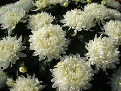 Fiore grosso, bianco