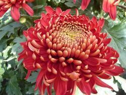 Crisantemo rosso
