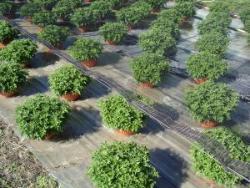 Coltivazione dei 'Multiflora'