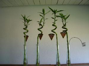 Lucky Bamboo (Dracaena)