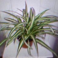 Chlorophythum