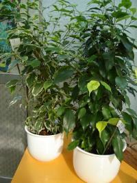 Ficus benjamino